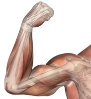 Illustration of a flexed arm showing human bicep m