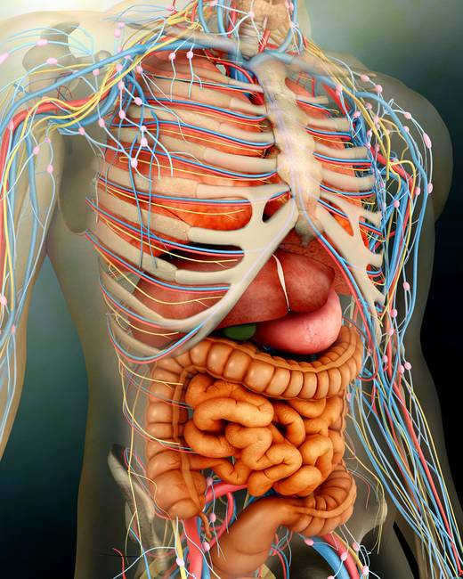 Picture Of Human Organs In Body Images - human body anatomy