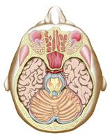 Transverse section of the midbrain