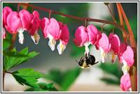 Bee and Bleeding Hearts