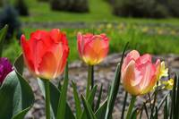 Tulips Red Pink Yellow Tulip Flowers Art Prints