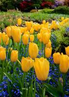 Yellow Tulips by Carol Groenen
