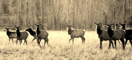 Herd of elk ~ Sepia