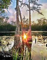 Cypress Swamp Sunset Red Sun Reflection Lily Pads