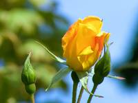 Lummi Island Yellow Rose