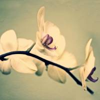 """""""Vintage Orchid"""" by JessicaJenney"""