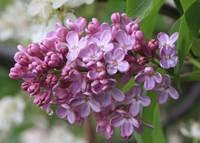 Raindrops on Lilacs by Carol Groenen
