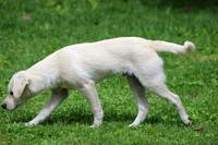 White Puppy Walking