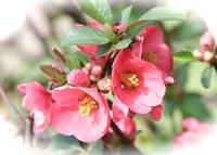 Pretty Flowering Quince by Carol Groenen
