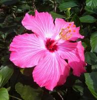 Pink Hibiscus by Carol Groenen