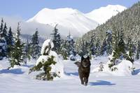 Black wolf in snow covered meadow in Alaskas Tonga