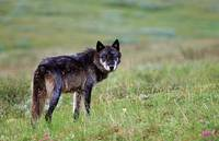 Adult wolf stands alert on tundra in Denali Nation