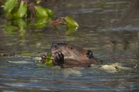 Beaver eats willow leaves in a pond, Denali Nation