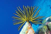 Micronesia, Bright Yellow Crinoid, Blue Ocean
