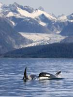 Pod of Orca whales surfacing in Favorite Passage o