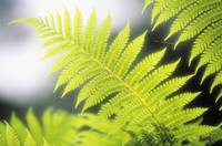 Hawaii, Backlit Tree Ferns With Blurry Background