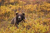 An Adult Brown Bear Amongst The Fall Foliage In De