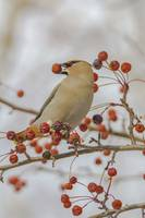 Bohemian Waxwing With Mountain Ash Berry In It's