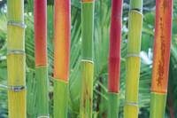 Hawaii, Maui, Detail Of Red Wax Palm Stalks Lined