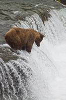 Brown bear at Brooks Falls on Brooks River, Katmai