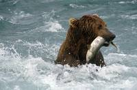 Grizzly Fishing for Chum in McNeil River Alaska