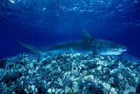 Hawaii, Close-Up Of Tiger Shark On Shallow Reef