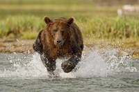 Coastal Grizzly boar fishing at Geographic Harbor,