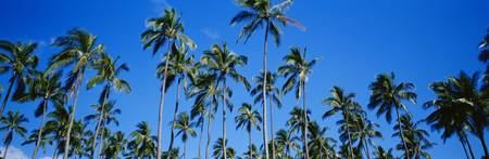 Grove Of Palm Trees, Bright Blue Sky, Panoramic