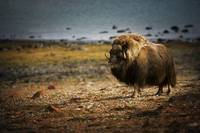 Muskox In The Northwest Territories, Canada