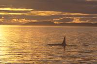 Canada, Vancouver Island, Killer Whale At Sunset