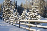 Snow-Covered Evergreens And Rustic Fence, Calgary,