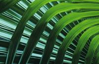 Hawaii, Palm Frond Close-Up In Tropical Botanical
