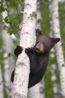 Young black bear cub in birch tree Minnesota fores