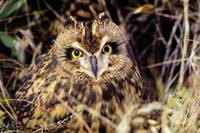 Colorado, Front Range, Short-Eared Owl