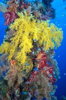 Close-Up Of Yellow And Red Alcyonarian Coral On Li