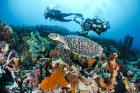 Indonesia, Divers Photographing A Hawksbill Turtle