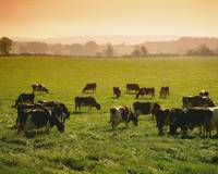 Friesian Cattle Grazing