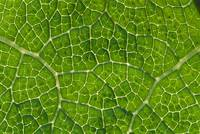 Network Of Leaf Veins, Prickly Rhubarb