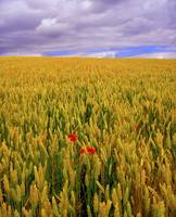 Poppies in a Wheatfield, County Waterford, Ireland