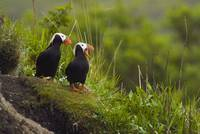 A pair of Tufted Puffins perched on cliff, Middlet