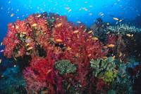 Colorful Reef Scene With Alcyonarian Coral, School