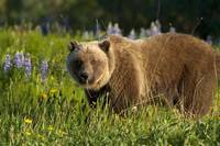 Brown Bear Foraging In Meadow, Yukon, Canada