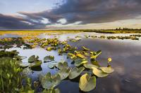 Lily Pads Glow At Sunset As The Clouds Reflect In