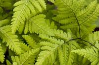 Close up of ferns growing on forest floor near Six