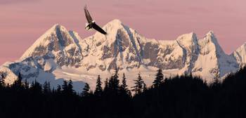 Bald Eagle In Flight At Sunset With Mendenhall Tow
