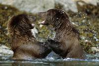 Two Brown Bears Fighting In River, Geographic Harb