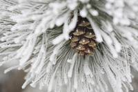 Frost Covered Pine Needles And A Pine Cone, Calgar