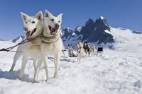 Sled Dog Team Standing On The Juneau Ice Field, Su