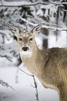 Close Up Of A Young Deer In A Snow Covered Forest,