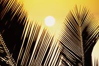 Pale Yellow Sun Behind Palm Fronds